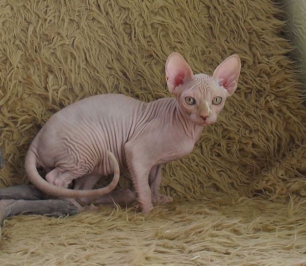 Кошки канадский сфинкс фото сфинкс