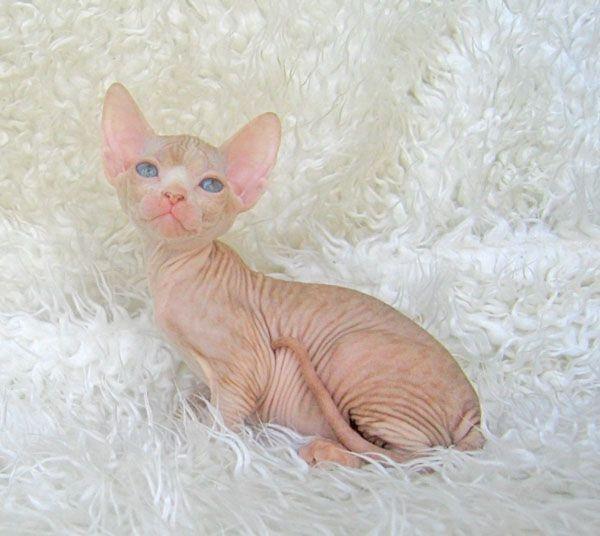 свитер для кошки выкройка