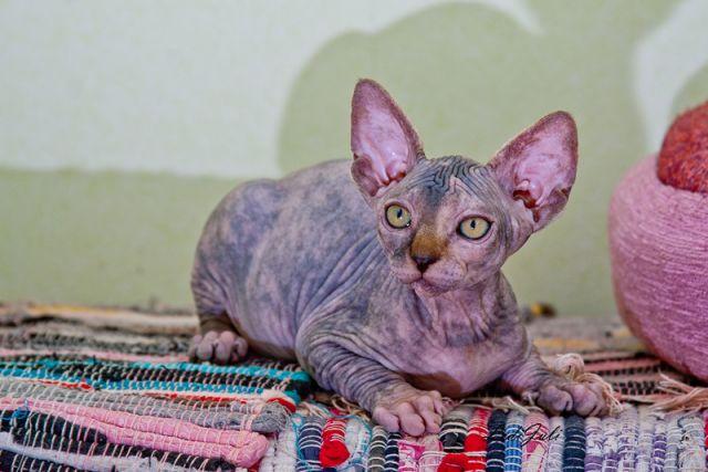 Sphynx kitten female talialida j