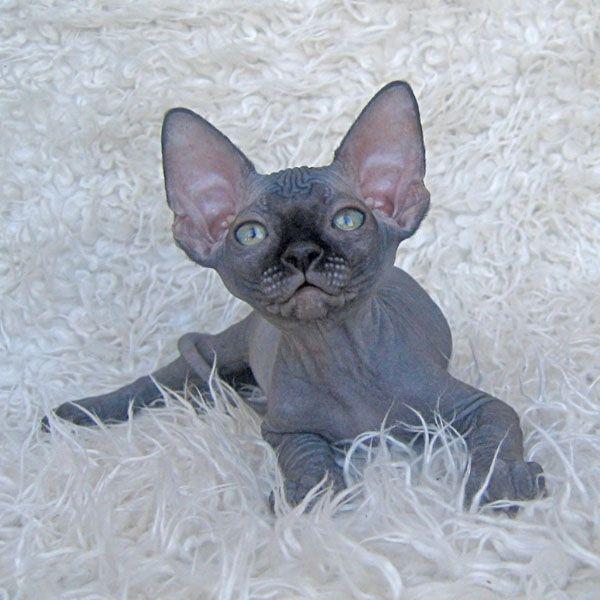 Sphynx kitten black male talialida highway robber 1